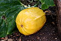 Cucurbita - Datscha-Garten Kürbis yellow.jpg
