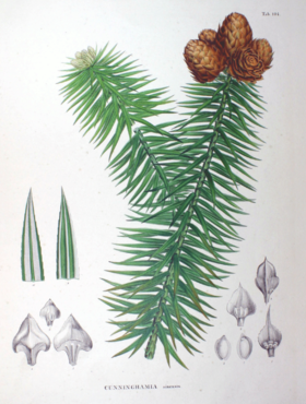 Cunninghamia sinensis SZ104.png