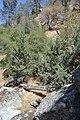 Cupressus nevadensis Hobo Ridge Grove (34) - Flickr - theforestprimeval.jpg