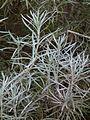 Currykraut (Helichrysum italicum) März 2014.JPG