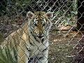 Cute baby tiger! (230089228).jpg