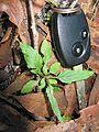 Cyanthillium cinereum leaf6 - Flickr - Macleay Grass Man.jpg