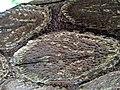 Cyathea cooperi IMG 20190502 120141.jpg