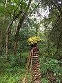 Cycas circinalis, ഈന്ത്.jpg