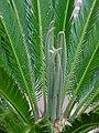 Cycas revoluta 004.jpg