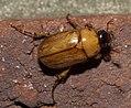Cyclocephala P1020321a.jpg