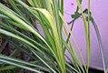 Cymbopogon citratus 0zz.jpg