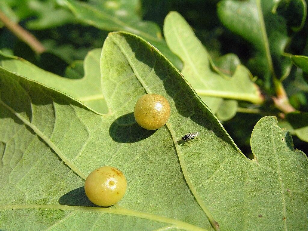 Hrče na listoch duba - v nich sú larvy hrčiarky