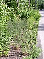 Cynoglossum officinale road side habitat AB.jpg