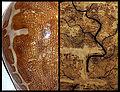 Cypraea mappa map comparison.jpg