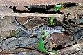 Cyrtodactylus cattienensis by Nathanael Maury.jpg