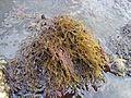 Cystoseira barbata1.jpg
