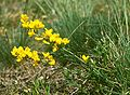 Cytisus procumbens 1.jpg