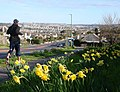 Daffodils, Dartmouth Road, Waterside, Paignton - geograph.org.uk - 1225844.jpg