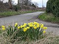 Daffs beside the lane - geograph.org.uk - 738355.jpg