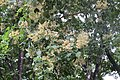 Dalbergia latifolia - Black Rosewood - at Begur 2014.jpg