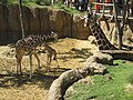 Dallas Zoo Giraffe Family.jpg