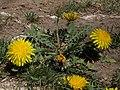 Dandelion, Taraxacum officinale (16829965381).jpg