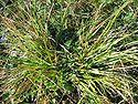 Danthonia decumbens horst.jpeg