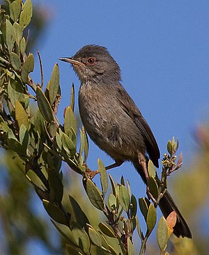 Dartford warbler - Female in Spain