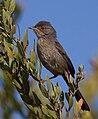 Dartford Warbler Provencegrasmücke (Sylvia undata) by J. Dietrich.jpg