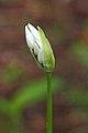 Daslook (Allium ursinum) Opengebarsten bloemknop 01.JPG