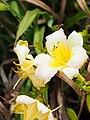 Daylilies Unknown - 9335909395.jpg