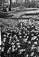 De bollenvelden in bloei, Keukenhof in bloei, Bestanddeelnr 917-6476.jpg