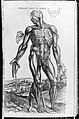 De humani corporis fabrica (Of the Structure of the Human Body) MET MM43263~1.jpg