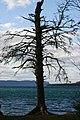 Dead Tree (1872355210).jpg