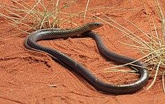 Delma nasuta, Spinifex Legless Lizard, Alice Springs.jpg