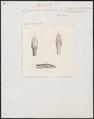 Dendrophis rhodopleuron - kop - 1837 - Print - Iconographia Zoologica - Special Collections University of Amsterdam - UBA01 IZ12000135.tif