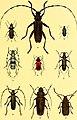 Der Käferfreund. Praktische Unleitung zum Sammeln und Bestimmen der Käfer ((1896)) (20853014972).jpg