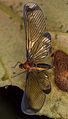 Derbidae (15317012379).jpg