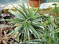 Deuterocohnia longipetala - Botanischer Garten München-Nymphenburg - DSC07937.JPG