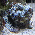 Devil Scorpionfish (Scorpaenopsis diabolus) at the Waikiki Aquarium.JPG