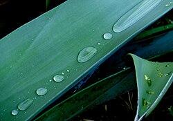 Dew Agava 40334.jpg