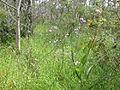 Dichopogon strictus habitat1 SWS (15627989275).jpg