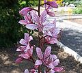 Dictamnus albus a1.jpg