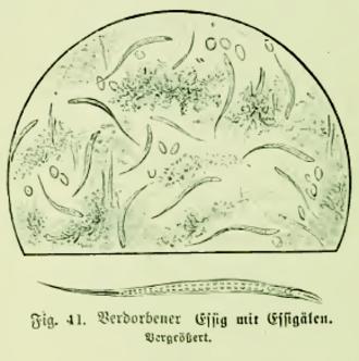 Turbatrix aceti - Illustration of vinegar eels