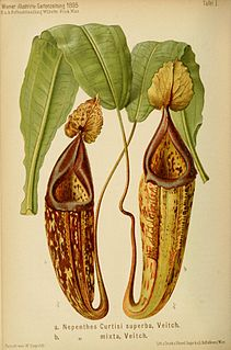 Die Gattung <i>Nepenthes</i> article