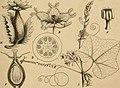 Die Natürlichen Pflanzenfamilien - nebst ihren Gattungen und wichtigeren Arten, insbesondere den Nutzpflanzen (1887) (20909790556).jpg