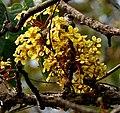 Dillenia pentagyna flowers- at Jayanti, Duars, West Bengal W IMG 5365.jpg