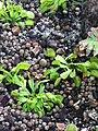 Dionaea muscipula, Madrid.jpg