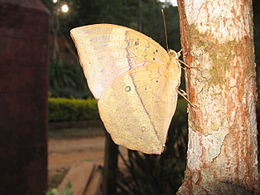 Discophora lepida fra India