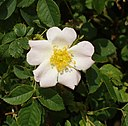 Dog rose on Otmoor - geograph.org.uk - 182143