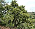 Dombeya rotundifolia, habitus, Groenkloof NR.jpg