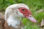 Domestic Muscovy (16680382144).jpg