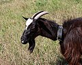 Domestic goat 2016 G1.jpg