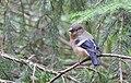 Domherre Eurasian Bullfinch (20350723355).jpg